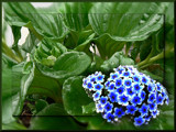 Chatham Island Forget-me-not by LynEve, Photography->Flowers gallery