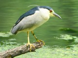 The Feeding Limb by legster69, Photography->Birds gallery