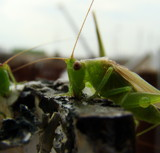 Image: Thirsty Grasshoppers