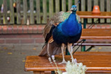 Proud Peacock by Ramad, photography->birds gallery