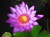 Water flower by postaldude66, Photography->Flowers gallery