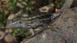 Fence Lizard by ryzst, photography->reptiles/amphibians gallery