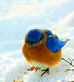 The Eastern Bluebird #2 by tigger3, photography->birds gallery
