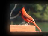 Cardinalis cardinalis by Hottrockin, Photography->Birds gallery