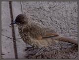 BABBLER. by SusanVenter, Photography->Birds gallery