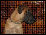 Tiger the Greatdane @ 5 Months by Sree, photography->pets gallery