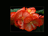 Begonia tuberhybrida by LynEve, Photography->Flowers gallery