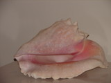 Conch Shell by lilkittees, Photography->Still life gallery