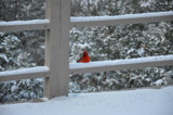Snow Cardinal by KT11109, Photography->Birds gallery