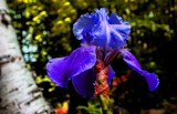 A Quandry for Iris by snapshooter87, photography->flowers gallery