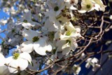 Dogwood flowers by vangsdesign, photography->flowers gallery