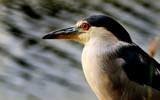 Red Eye Flight by vlad421, Photography->Birds gallery