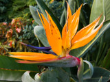 Bird of Paradise by Pistos, photography->flowers gallery