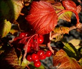 Fall Color with Berries by trixxie17, photography->nature gallery