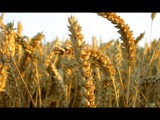 Image: Wheat Crop