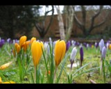 Crocuses by bunyip, photography->flowers gallery