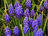 Muscari or Grape Hyacinths by trixxie17, photography->flowers gallery