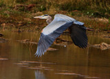 Cruisin' Great Blue by legster69, Photography->Birds gallery