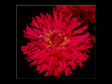 The Beauty Of The Dahlia __ #12 by tigger3, Photography->Flowers gallery
