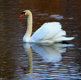 Swan At Grassy Creek by tigger3, photography->birds gallery