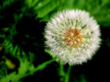 Dandelion Clock by braces, Photography->Flowers gallery