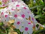 Phlox by trixxie17, photography->flowers gallery
