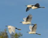Snowys in Flight by garrettparkinson, photography->birds gallery
