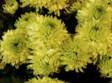 """Shamrock"" Mums by trixxie17, photography->flowers gallery"