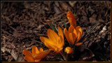 In Bloom_The Crocus by tigger3, photography->flowers gallery