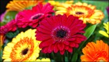 Colourful Gerberas by LynEve, photography->flowers gallery