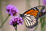 Monarch Butterfly by tigger3, photography->butterflies gallery