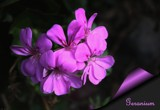 Geranium - a Thank You by LynEve, photography->flowers gallery
