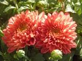 Twins by trixxie17, photography->flowers gallery