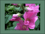 Mellow Mallow by LynEve, Photography->Flowers gallery
