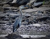 Blue Heron by picardroe, photography->birds gallery