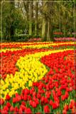 Keukenhof 03 by corngrowth, photography->flowers gallery