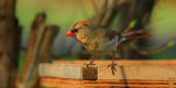A Female Cardinal Looking So Pretty by tigger3, photography->birds gallery