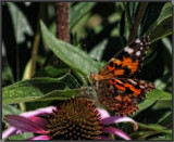 Summertime At The Gardens #4 by tigger3, photography->butterflies gallery