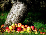 Apples for Christmas by LeBlaze, Photography->Landscape gallery