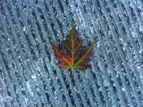 Maple Leaf by good_girl13, photography->nature gallery