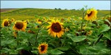 Sunflower time #1 by LynEve, photography->flowers gallery