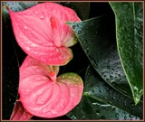 Anthurium by trixxie17, photography->flowers gallery