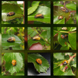 Metamorphosis Ladybug by wimida, photography->insects/spiders gallery