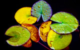Tales from the Lily Pad by nigelmoore, Photography->Still life gallery