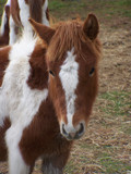 Chincoteague Pony by Skynet5, Photography->Animals gallery