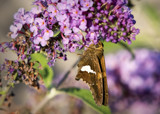 Butterfly Bush and Friend by luckyshot, photography->butterflies gallery