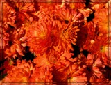 All About the Orange by trixxie17, photography->flowers gallery