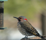 The Northern Flicker by tigger3, photography->birds gallery