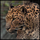 The Leopard #2_Manipulated by tigger3, photography->manipulation gallery