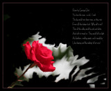 A Rose for Stan by verenabloo, Photography->Flowers gallery